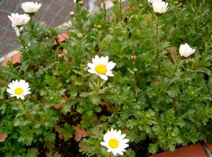 Нивяник болотный (Leucanthemum paludosum)