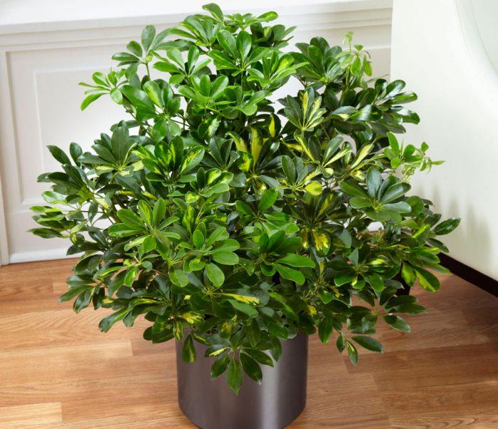 Шеффлера (Шефлера) цветок - уход в домашних условиях