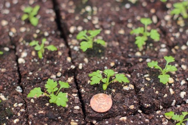Выращивание нигеллы из семян