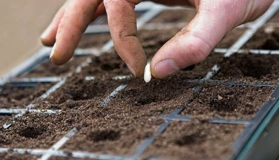 Посев ромашки