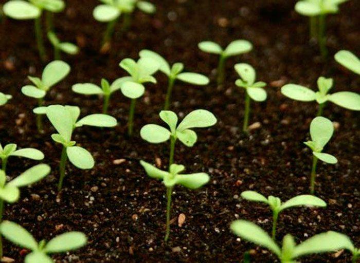 Выращивание астры из семян