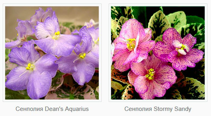 Сенполия Dean's Aquarius
