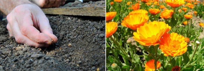 Выращивание календулы из семян