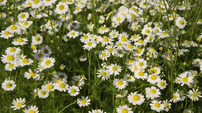Особенности ухода за садовыми ромашками