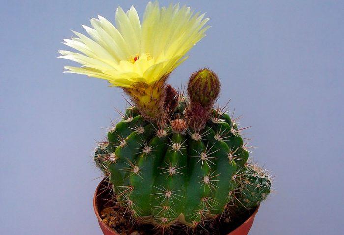 Нотокактус Оттo (Notocactus ottonis)