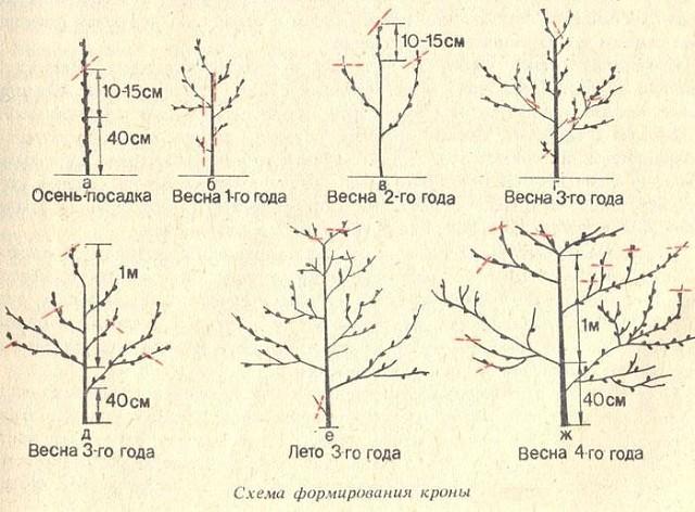 Как сажать абрикос в подмосковье весной пошаговая инструкция 92