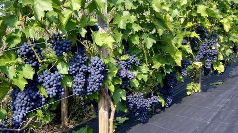 Определяем сорт винограда