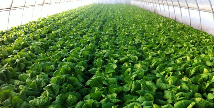 Выращивание пекинской капусты как бизнес 83