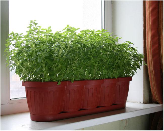 Как выращивают петрушку в домашних условиях