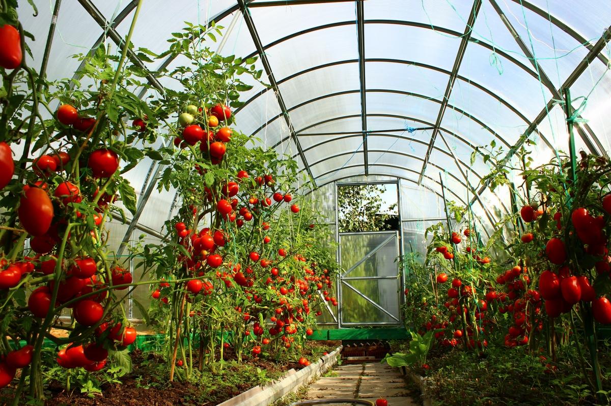 Тепличный уход за помидорами